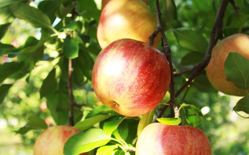 やまだい農園 りんご 長野