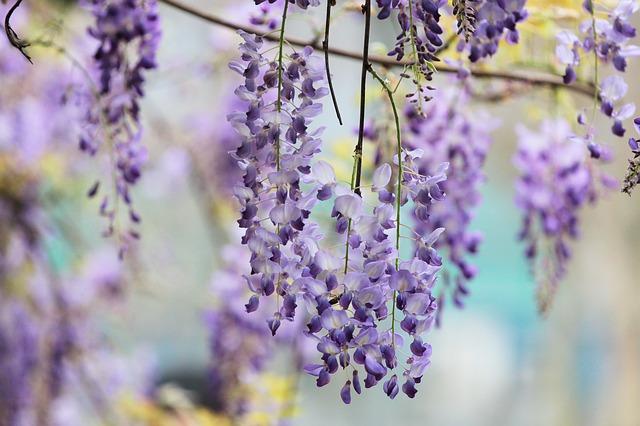 藤色 藤の花