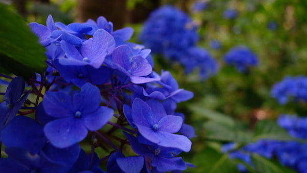 あじさい 紫陽花 アジサイ みちのくあじさい園 イベント 岩手